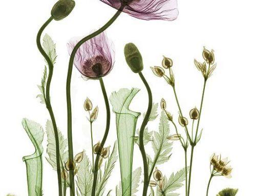 { Vegetal X-Ray Art } La botanique aux rayons X