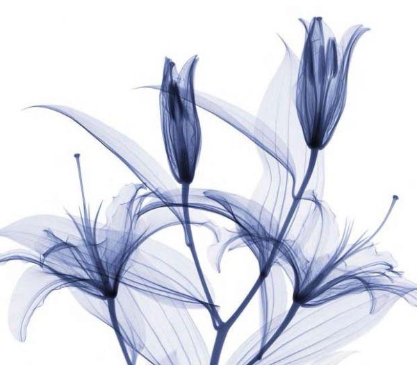 Hugh Turvey - Stargazer lilies
