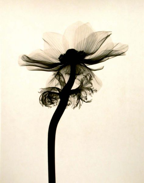 Judith McMillan - Anemone coronaria