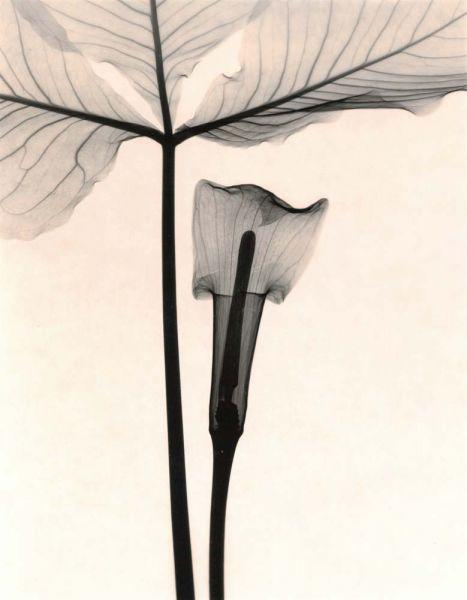 Judith McMillan - Arisaema Triphyllum