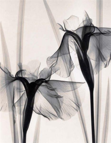 Judith McMillan - Iris Kaempferi