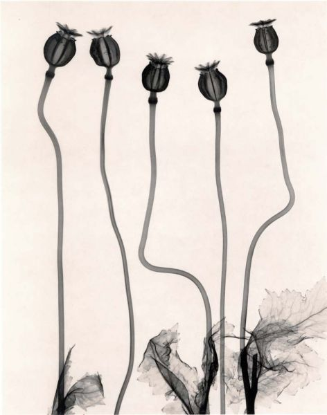 Judith McMillan - Papaver Somniferum Opium