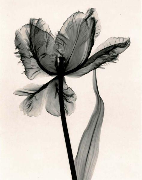 Judith McMillan - Tulipa parrot Tulip