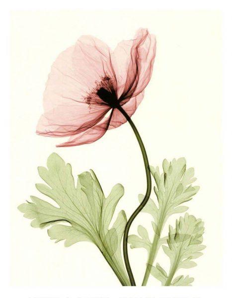 Steven Meyers - Iceland poppy
