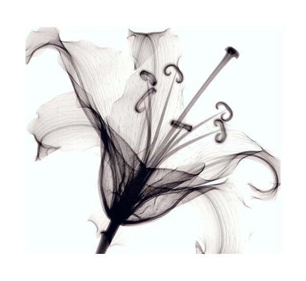 Steven Meyers - Lily muscadet